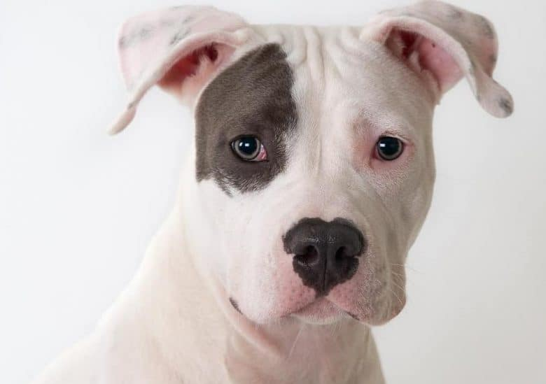 a Pitbull with patch having its close up picture