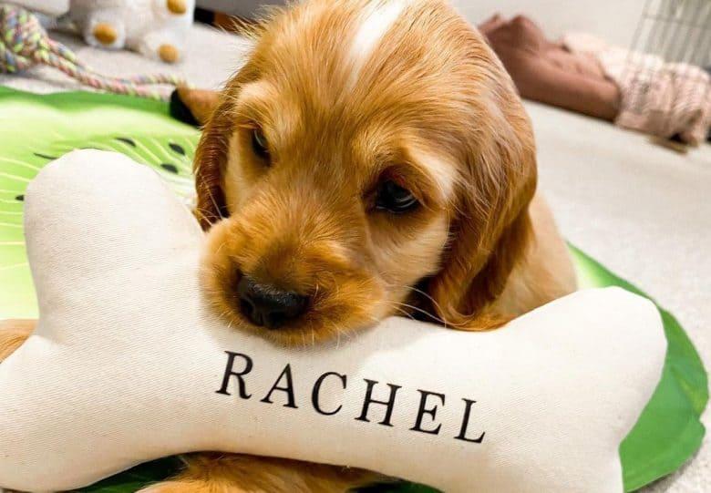 a Cocker Spaniel adoring her bone shaped pillow