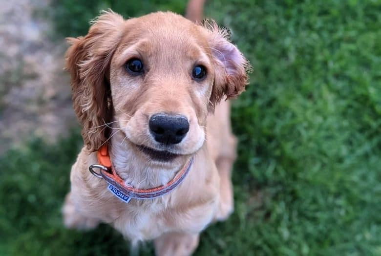 a Cocker Spaniel giving the smirk while sitting on the grass