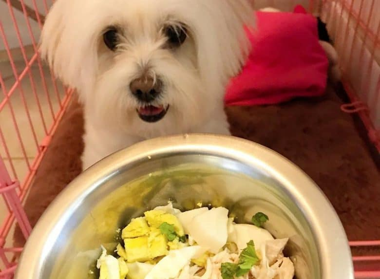 a Coton de Tulear with her homemade meal