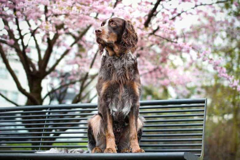 a poised Picardi Spaniel sitting in park bench while looking to the side