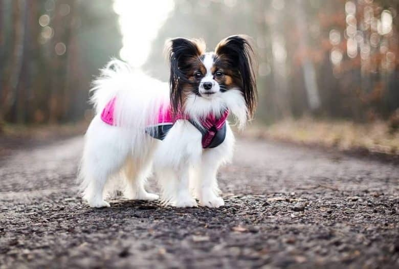 a Papillon with long hair standing in the middle of a rough road