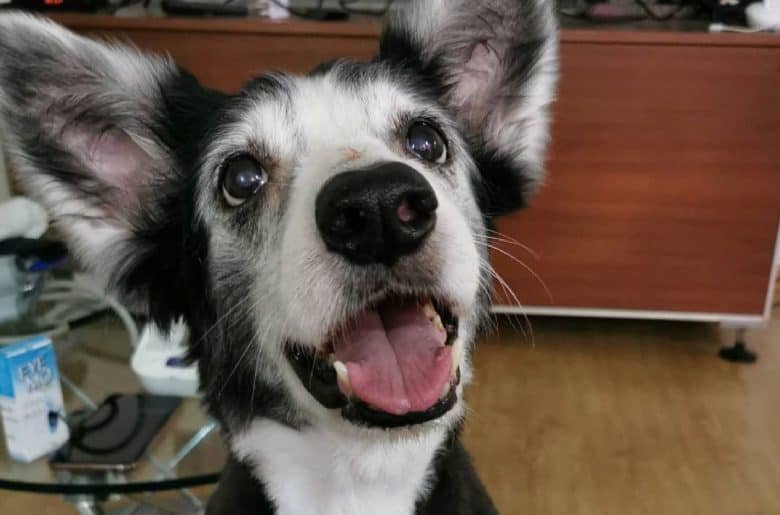 a charming Border Collie smiling