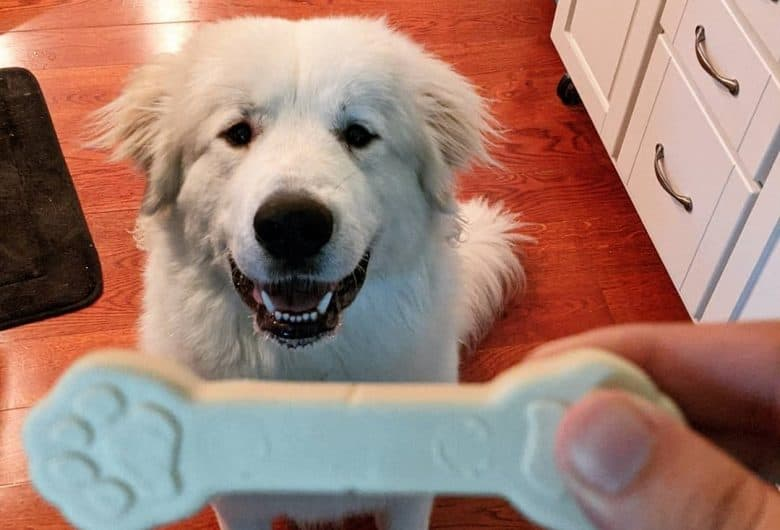 A Great Pyrenees looking happily at his treat