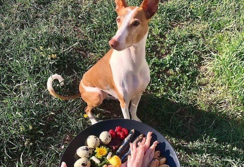 an Ibizan Hound sitting on the grass while waiting for her snack