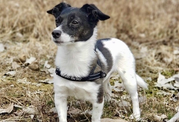 A Jack Rat Terrier outdoors on a gloomy day