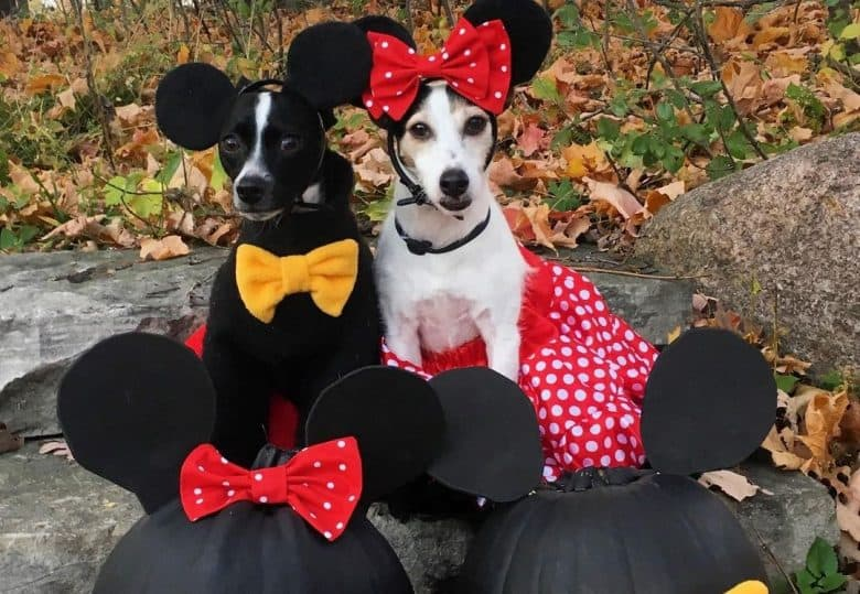 a Jack Russell and Chimin wearing costumes