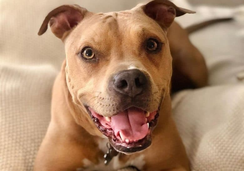 a happy Tan Pitbull laying on a bed
