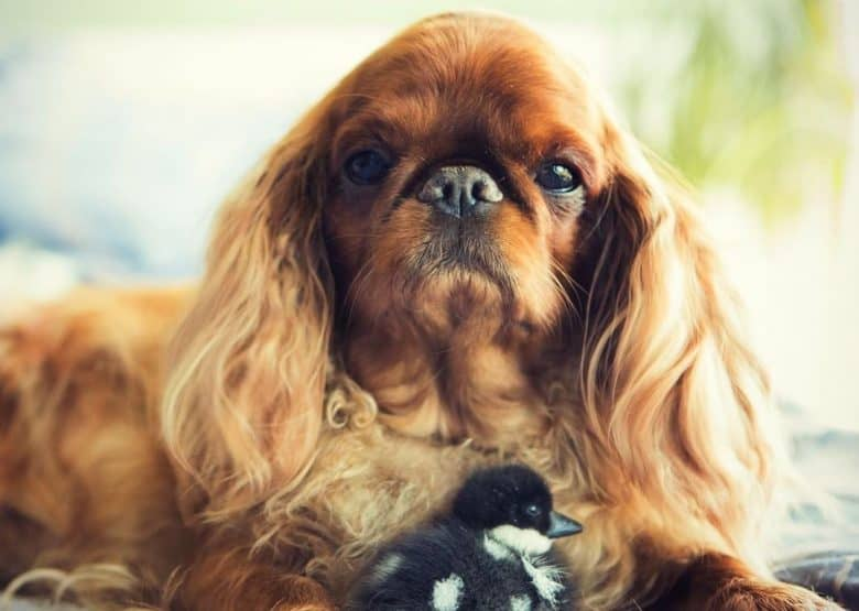a captivating King Charles Spaniel with a duckling
