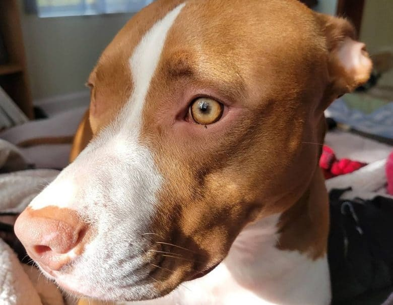 a Liver Pitbull with golden eye