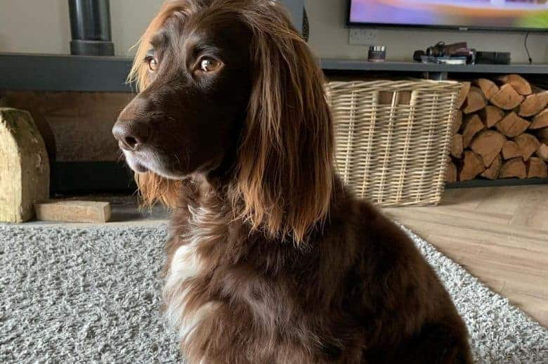 A Sprocker Spaniel sitting in the living room
