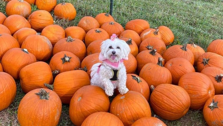 a cute Maltese surrounded by pumpkins
