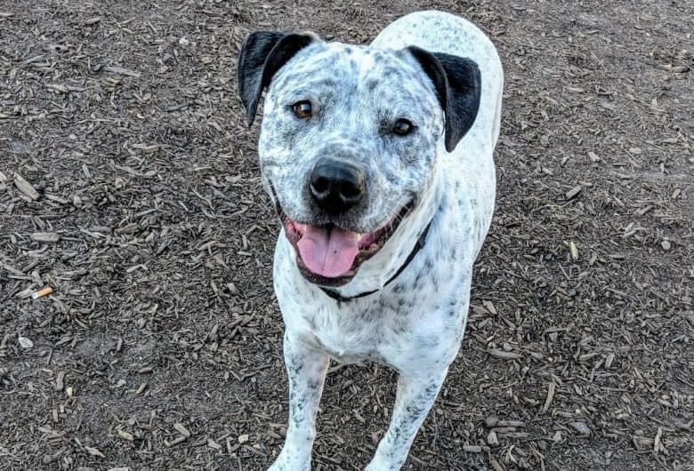 a Pitbull with Black Ticking smiling