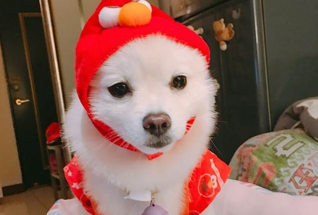 a Pomeranian wearing a red costume