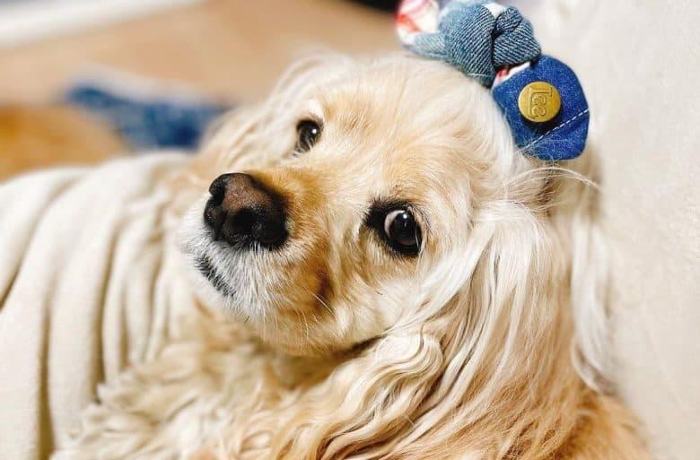 an American Cocker Spaniel wearing a denim hair clip