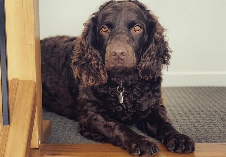 an American Water Spaniel laying near the stairs