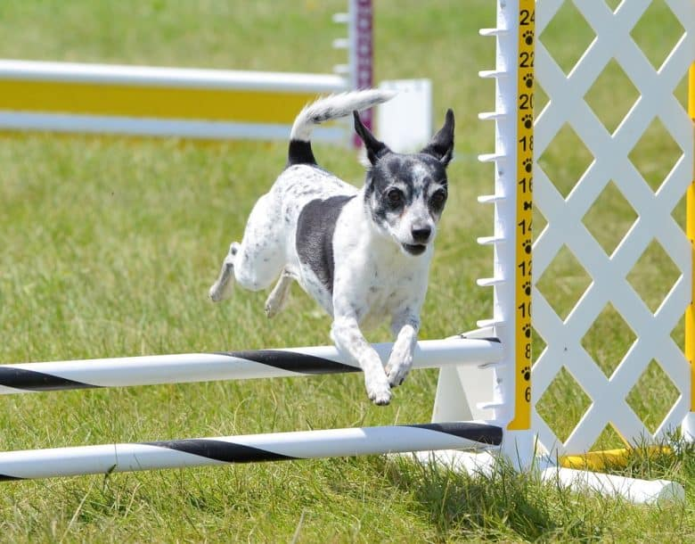 an active Rat Terrier jumping over a hurdle