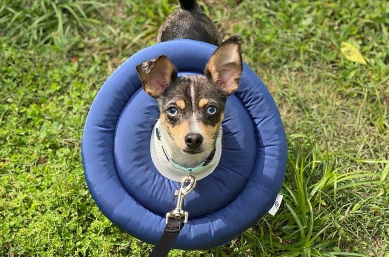 a Rat Terrier wearing a blue UFO collar