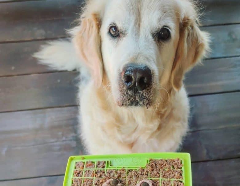 a Senior Golden Retriever with his pupcake