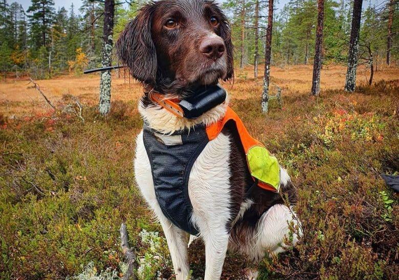 a Small Munsterlander wearing a colorful dog vest