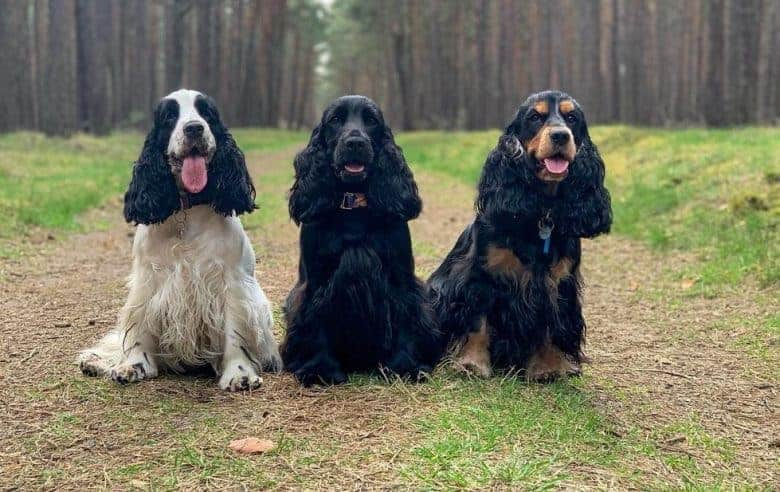Three English Cocker Spaniels sitting in the forest