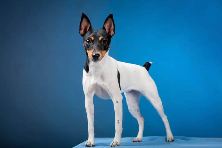 a portrait of a strong Toy Fox Terrier
