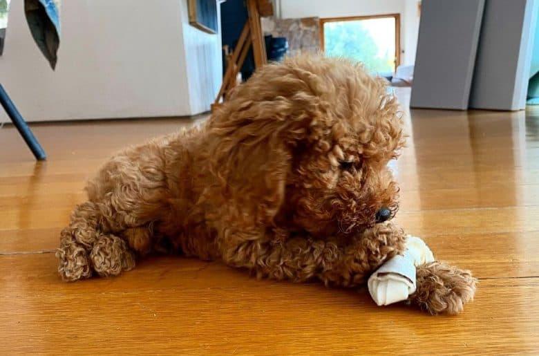A Toy Poodle adoring its bone treat