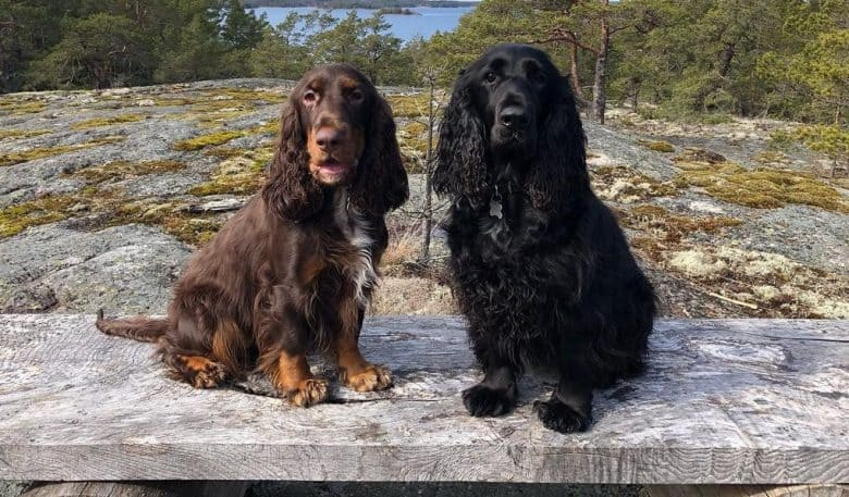 two Field Spaniels sitting on a wooden plank