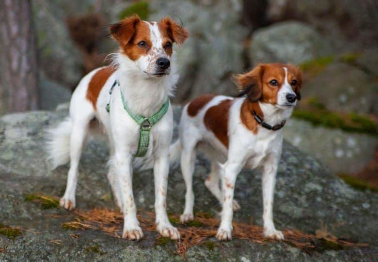 two Kooikerhondje Spaniel standing on a rock