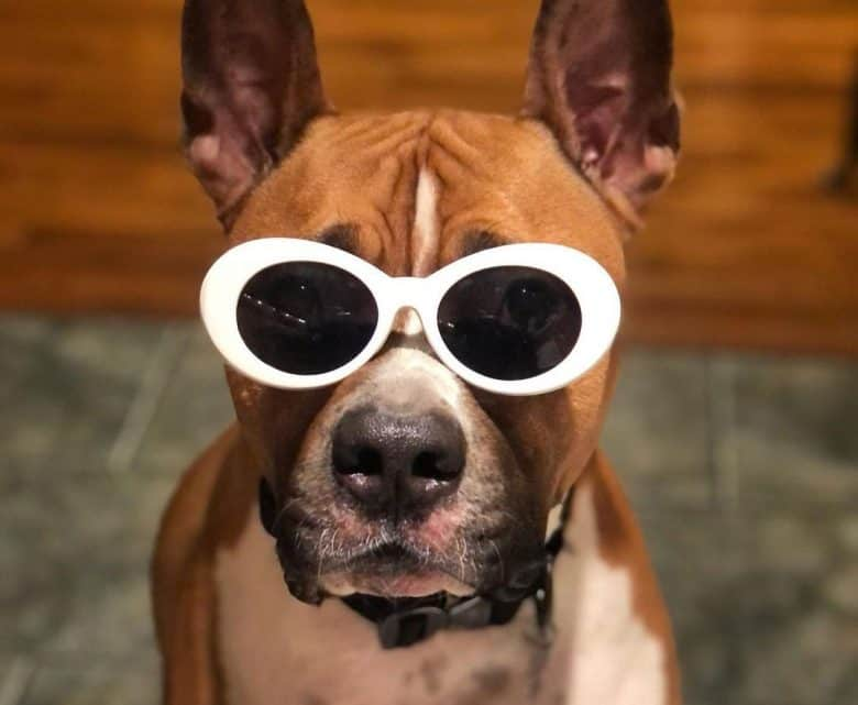 American Staffordshire Terrier dog wearing sun glasses