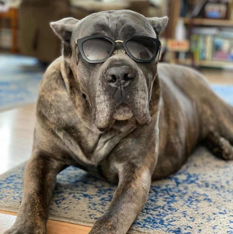 Badass Italian Mastiff dog wearing sun glasses