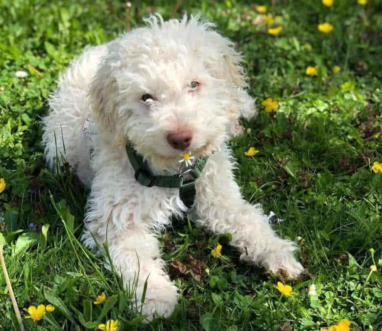 Charming Lagotto Romagnolo puppy