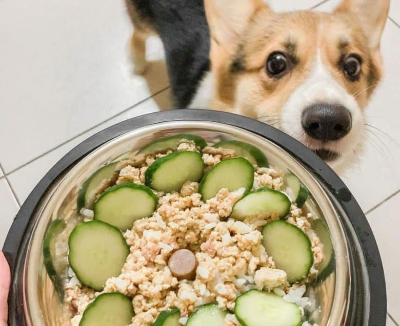 Corgi waiting the bowl full of food with cucumber