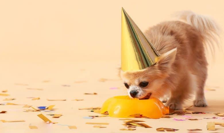 Cute little chihuahua dog celebrating birthday