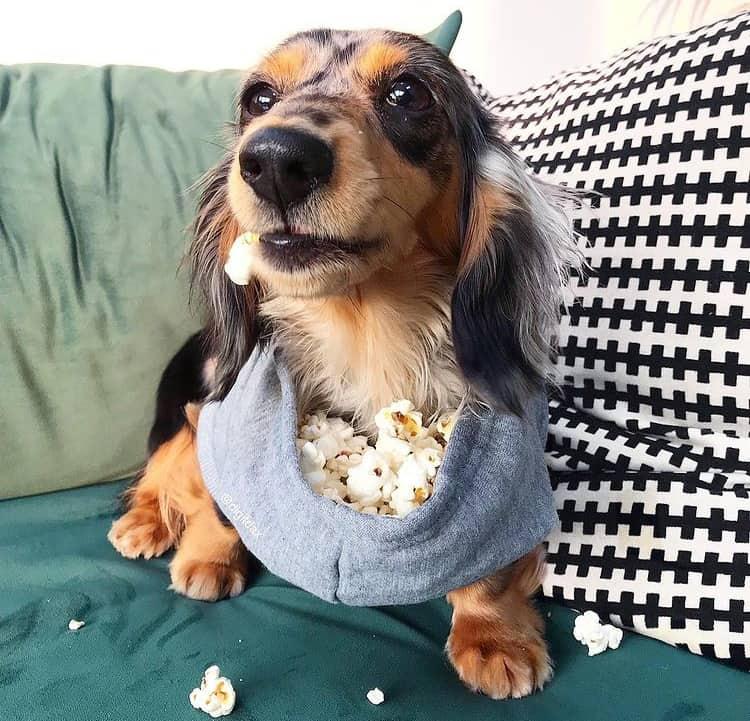 Dog loves to eat popcorn