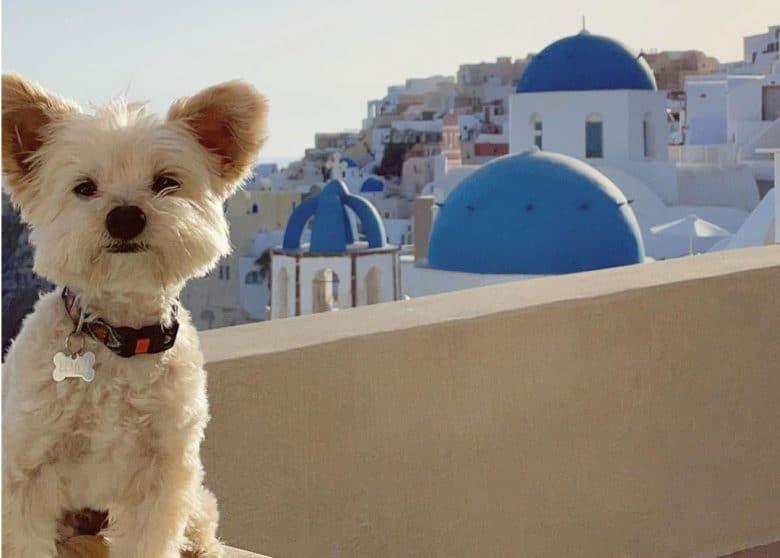 Dog taking picture on Santorini Island