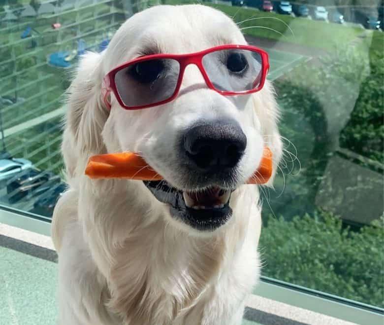 Golden Retriever dog with sunglasses biting a carrot