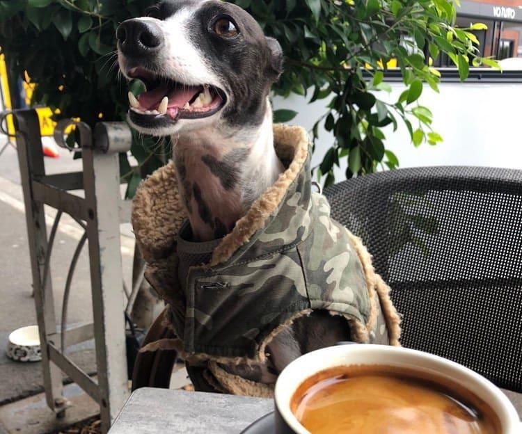 Italian Greyhound wearing camouflage vest