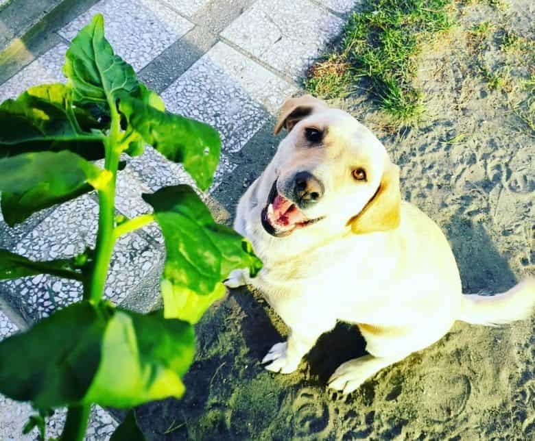 Labrador watching the spinach plant