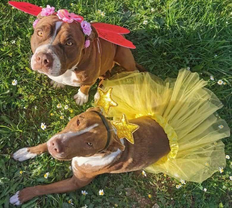 Pitbulls wearing fairy costume