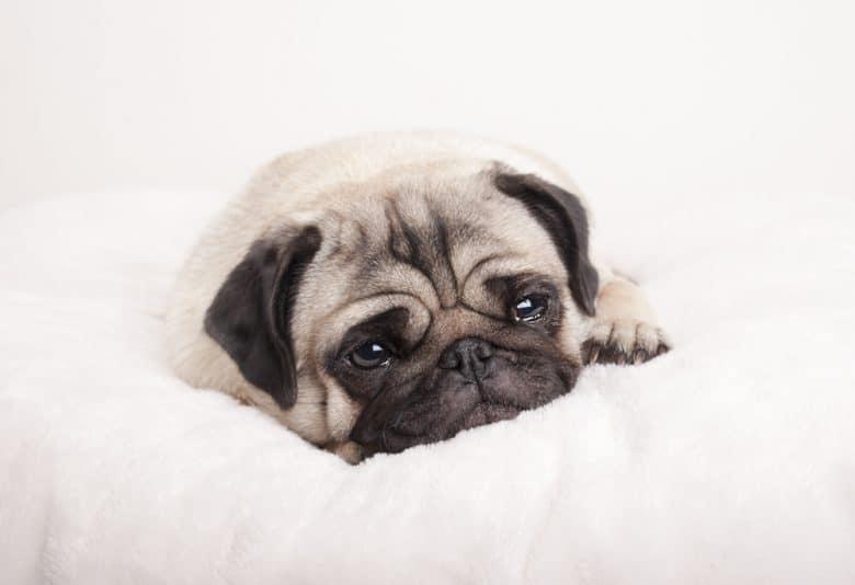 Sad little pug puppy lying down crying
