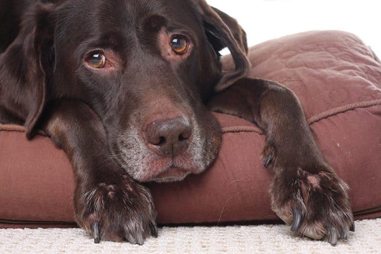 Sad Labrador Retriever dog