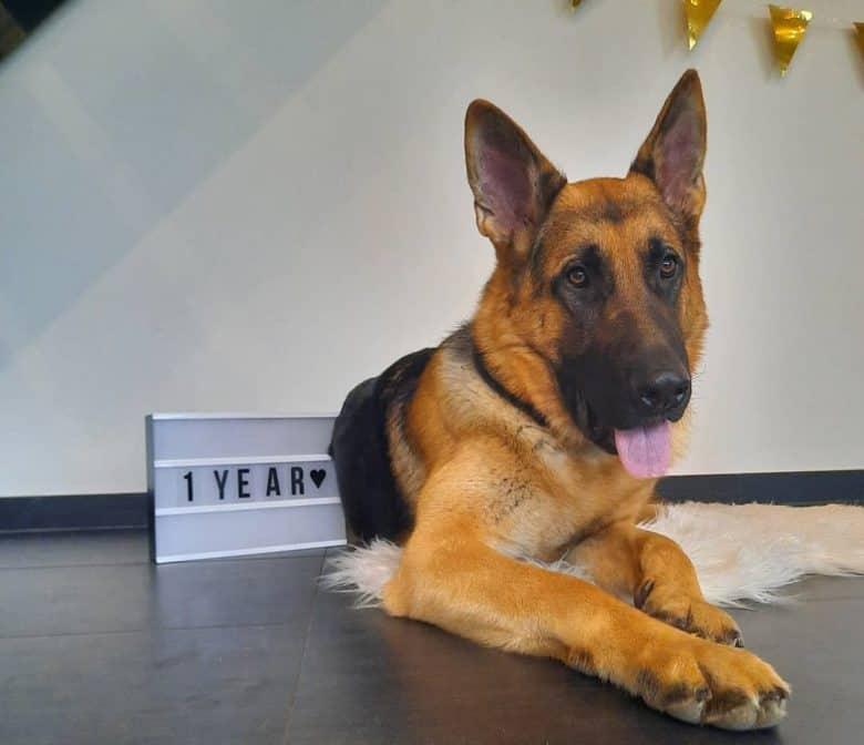 A 1-year-old German Shepherd