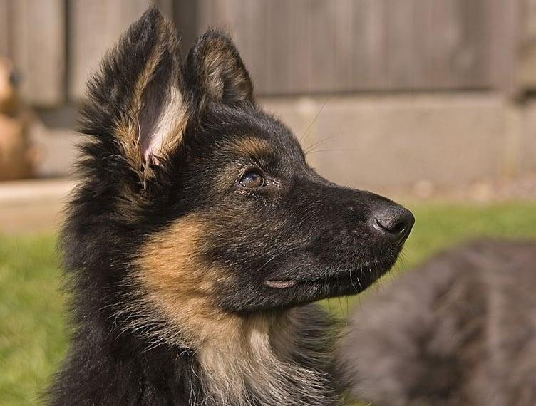 An 11-week-old German Shepherd puppy