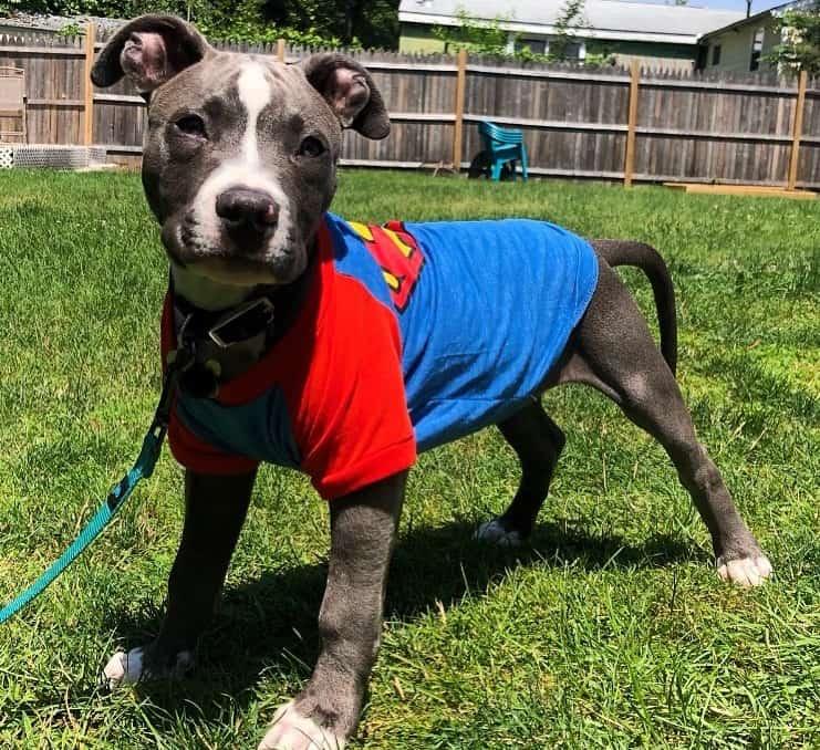 3 months old Pitbull dog