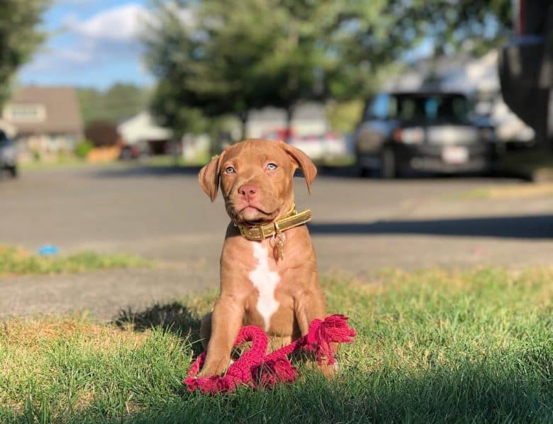 8 weeks old Brindle Pitbull