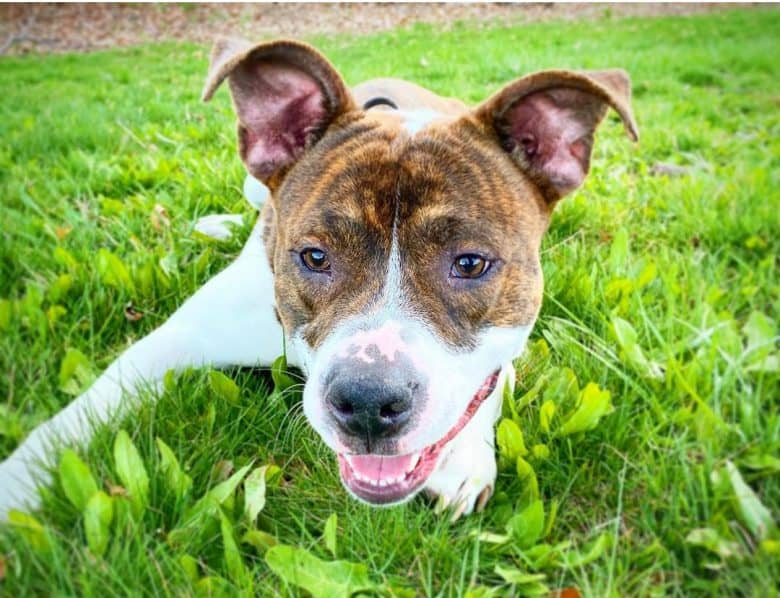 American Pit Bull Terrier rolling on the grass