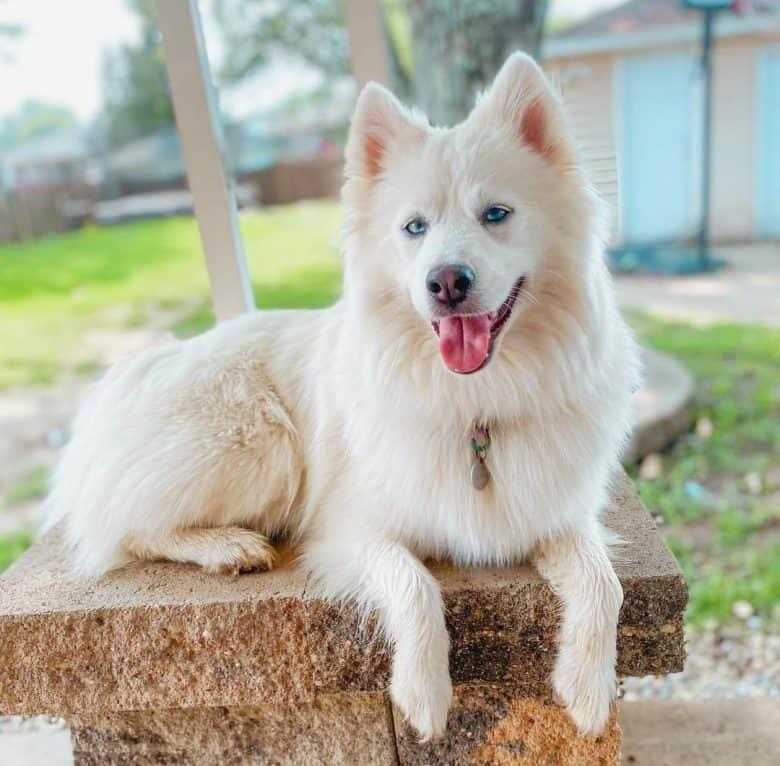 Beautiful white husky dog