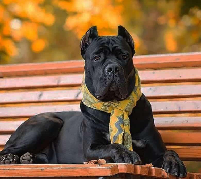 Cane Corso dog lying on the bench