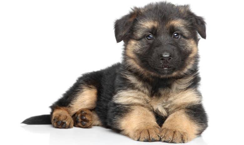 Charming German shepherd puppy on white background